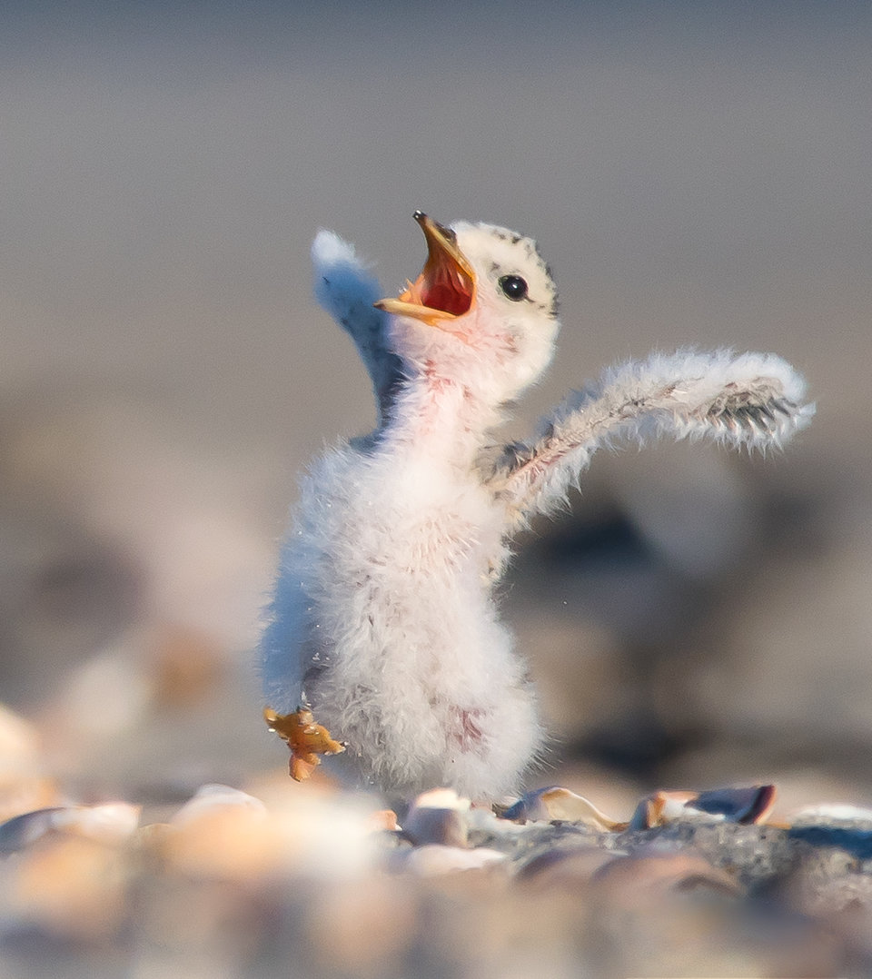 shouting chick